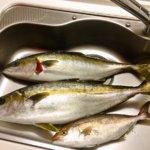 大人の修学旅行で釣れた青物三兄弟(春マサ・ヤズ・ネリゴ)を調理しました!!