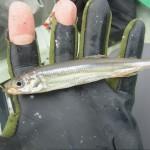 氷の上じゃない!?北山ダムでボートを借りて釣ったワカサギを美味しく調理しました(*´艸`*)