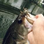 晩夏の弁慶でREALIS 忍虫(ニンムシ)がなぜ釣れまくるのか!?【釣れすぎ注意】