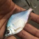 BURITSUらしくない?大田区の平和島でタナゴ釣り