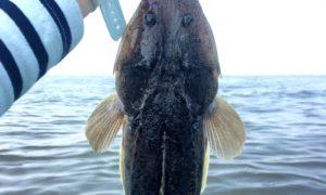 マゴチを釣って熟成させる