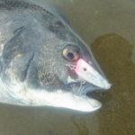 【河川の黒鯛を釣る方法】1度 味わったら 病みつき….  河川チヌのシャローゲーム