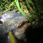 シーバスを狙っていた時に釣れた乗っ込みチヌこと黒鯛料理9品をご紹介(*´艸`*)