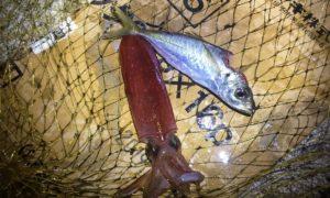 季節外れのギガアジを狙って壱岐島で徹夜のアジング&中アジの泳がせでアオリイカを狙い修行!