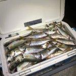 長崎のアジング&ヒラスズキ釣りでアジ釣りにハマってアジめっちゃ釣りました!2020年の釣り始め!
