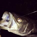 B-1オカッパリシーバスダービー2014開催中、そこで釣りたい魚なのだΣ(´д`;)