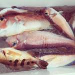 【食べる楽しみ】高級魚アマダイ釣りに初挑戦〜!!