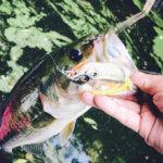 【豊英で蛙】青野郎が大量出現した上流域でフロッグを試したら1年越しで釣れた!