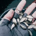 【ご報告】三島アングラーズアクションって?三島ダムにヘラブナ稚魚放流が行われました!