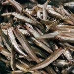 【芦ノ湖のワカサギ釣り】ワカサギを釣って食べる会2019はライブスコープを導入して入れ食い!?